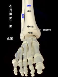 右脛骨遠位骨端線ー骨端軟骨と骨幹端|大阪市住吉区長居藤田鍼灸整骨院