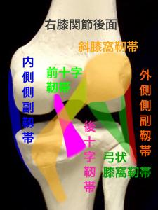 後方から見た右膝関節の主な靭帯|大阪市住吉区長居藤田鍼灸整骨院