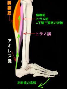 腓腹筋とヒラメ筋は合わせて下腿三頭筋となり、その下部はアキレス腱となって踵骨に付着する|大阪市住吉区長居藤田鍼灸整骨院