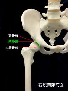 股関節を形成する大腿骨頭と寛骨臼、関節唇|大阪市住吉区長居藤田鍼灸整骨院