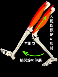 ジャンパー膝(膝蓋靭帯炎) 大腿四頭筋の収縮による膝蓋靭帯の牽引力により膝関節が伸展する|大阪市住吉区長居藤田鍼灸整骨院