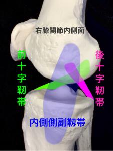 内側から見た右膝関節の主な靭帯|大阪市住吉区長居藤田鍼灸整骨院