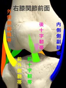 正面から見た右膝関節の主な靭帯|大阪市住吉区長居藤田鍼灸整骨院