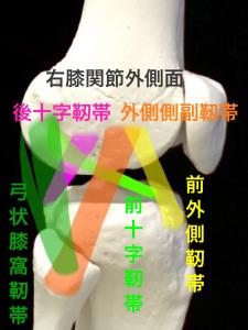 外側から見た右膝関節の主な靭帯|住吉区長居藤田鍼灸整骨院