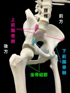 骨盤部の名称、上前腸骨棘、下前腸骨棘、坐骨結節|大阪市住吉区長居藤田鍼灸整骨院